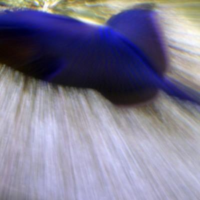 pesci137