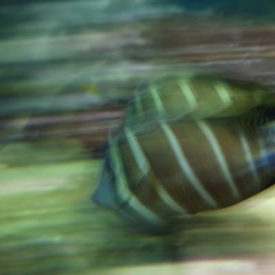 pesci185